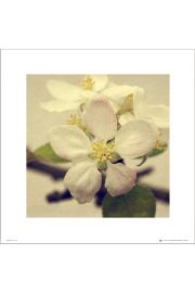 Apple Blossom Trio - art print