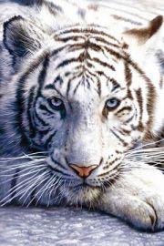 Tygrys Bengalski - plakat
