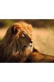 Lew o zachodzie słońca - plakat