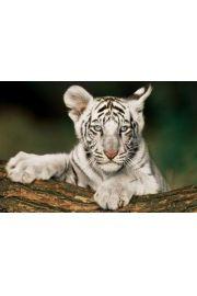 Młody Biały Tygrys - plakat