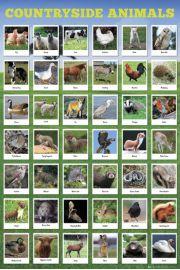 Wiejskie Zwierzęta - plakat
