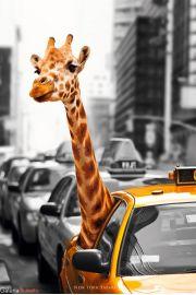Nowy Jork Safari - Żyrafa w Taksówce - plakat