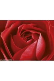 Czerwona Róża - reprodukcja