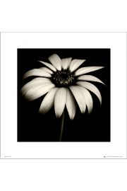 Stokrotka Daisy Black & White - art print