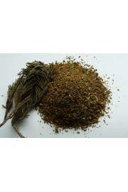 Himalayan Juniper (Juniperus religiosa) - jałowiec himalajski