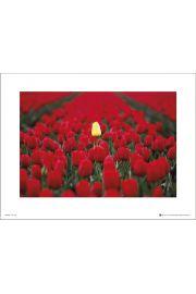 Tom Mackie Tulipany - art print
