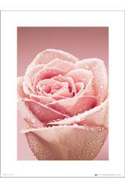 Róża w Kroplach Rosy - art print