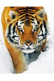 Tygrys Syberyjski w śniegu - plakat