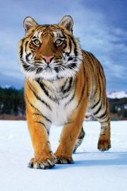 Tygrys Syberyjski - plakat