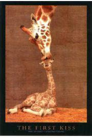 Pierwszy Poca�unek - �yrafy - plakat