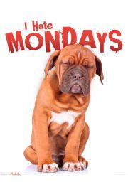 Nie Lubię Poniedziałków - Buldog - plakat