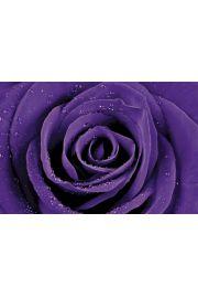 Purpurowa R�a w Kroplach Rosy - plakat