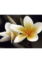 Kwiaty Frangipani - plakat