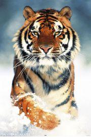 Tygrys Bengalski w Śniegu - plakat