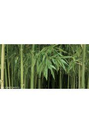 Las Bambusowy - reprodukcja