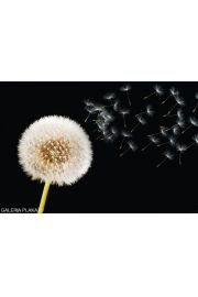Dmuchawiec - Dandelion Dream - plakat