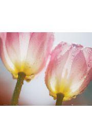 Tulipany w kroplach rosy - plakat