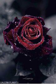 Luksusowa Róża w Kroplach Rosy - plakat