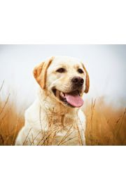 Labrador Szczęśliwy Pies - plakat