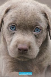 Szczeniak z błękitnymi oczami - plakat