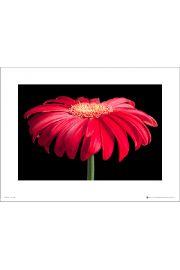 Gerbera Red & Black - art print
