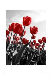 Tulipany - reprodukcja