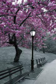 Central Park - Kwitnące Wiśnie - Nowy Jork - plakat