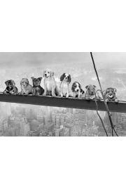 Psy na Belce - Nowy Jork - plakat