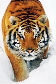 Tygrys w �niegu - plakat