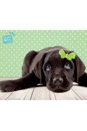 Labrador Szczęściarz - plakat