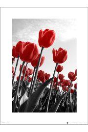 Czerwone Tulipany - art print