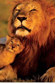 Lew i Lwiątko - plakat