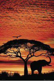 Słoń Afrykański - Zachód Słońca na Sawannie - plakat
