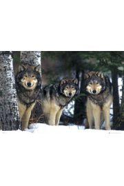Wilki w Lesie - plakat