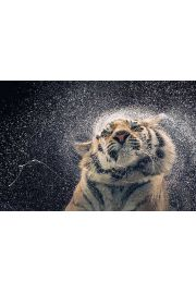 Tygrys - plakat