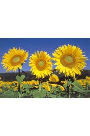 Słoneczniki - Sunflowers - plakat