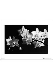 Orchidea Black And White - art print