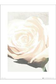 R�a Floral Rose White - art print