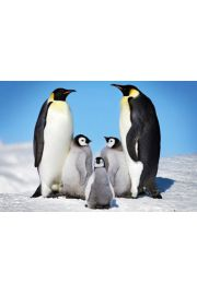 Rodzina Pingwinów - plakat
