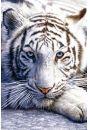 Tygrys Bengalski - plakat - Koty